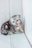 Grey kitten meow. On white wooden floor Stock Photo
