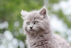 Grey kitten Stock Images