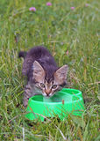 Grey  kitten near a feeding trough Stock Images