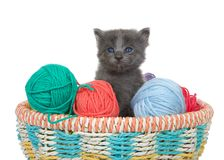 Grey kitten peaking out of a basket of yarn balls. Three week old grey kitten sitting in a basket of yarn balls in multiple colors looking at viewer. Isolated on royalty free stock photo