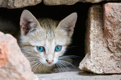 Grey kitten with piercing eyes ahead Royalty Free Stock Image