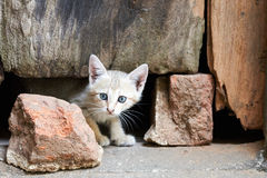 Grey kitten with piercing eyes looking from under a door Stock Images