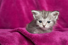 Grey kitten on pink blanket. Grey tabby kitten resting on a plush pink blanket Stock Photo