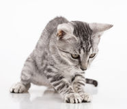 Grey kitten playing Stock Image