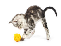 Grey kitten playing Royalty Free Stock Photo