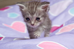 Grey kitten playing on hearts. Grey tabby kitten playing on multicolored pastel heart bean bag Stock Images