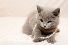 Grey kitten Royalty Free Stock Photography