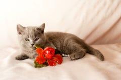 Grey kitten Stock Photography