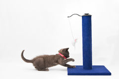 Grey Kitten Playing With A Scratching Post Royalty Free Stock Photo