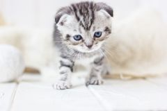 Grey kitten plays. Portrait of young and adorable kitten Royalty Free Stock Images