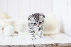 Grey kitten plays. Portrait of young and adorable kitten Royalty Free Stock Image