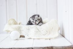 Grey kitten plays. Portrait of young and adorable kitten Stock Photos