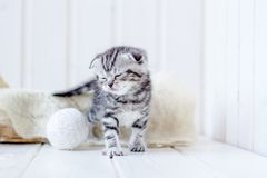 Grey kitten plays. Portrait of young and adorable kitten Stock Photography