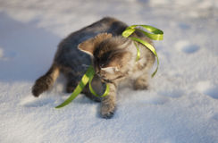 Grey kitten plays in the snow Royalty Free Stock Photography