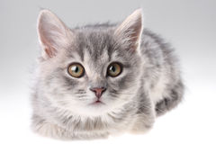 Grey kitten portrait Stock Image