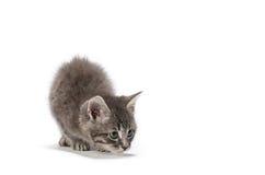 Kitten pounce. Grey kitten preparing to pounce stock photos