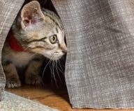 Grey Kitten que esconde sob a saia da cama foto de stock