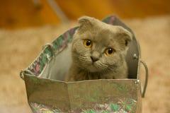 Grey Kitten on Silver Paper Bag Royalty Free Stock Photos