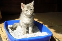 Grey kitten sitting in the litter box stock photos