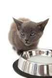 Grey kitten sitting beside milk in a bowl Royalty Free Stock Photo