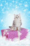 Grey kitten sitting on a present Stock Photos
