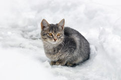 Grey kitten sitting in the snow Royalty Free Stock Photography