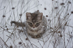 Grey kitten in the snow and dry grass Stock Photos