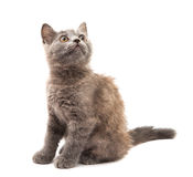 Grey kitten Royalty Free Stock Photo