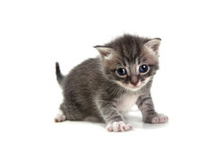 Grey Kitten on White Background Looking at Camera Stock Image