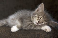 Grey kitten with white paws sleeping sweetly in his chair Royalty Free Stock Photos