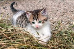 Grey Kitten Stock Image