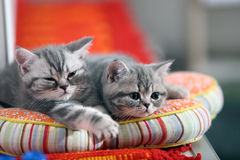 Grey kittens on pillow Royalty Free Stock Image