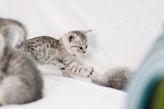 Grey kittens playing on a white sofa royalty free stock images