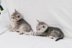 Grey kittens playing on a white sofa royalty free stock image