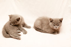 Grey kittens Royalty Free Stock Images