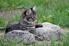 Grey Kittie. Grey kitten lying among large rocks Stock Photography