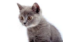 Grey Kitty Stock Image