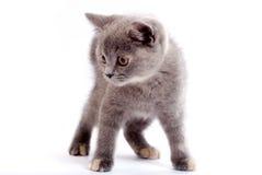 Grey kitty Stock Photo