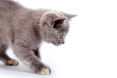 Grey kitty Royalty Free Stock Images
