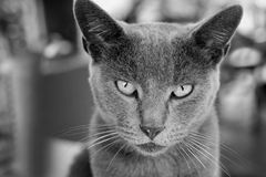 Grey kitty. Black and white grey cat close up Stock Photos