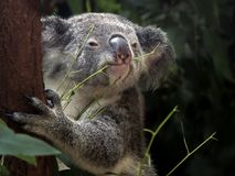 Koala in a Gum Tree Eating Bush Tucker royalty free stock images