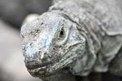 Grey Komodo Dragon Royalty Free Stock Photography