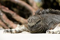 Grey Komodo Dragon Stock Photo