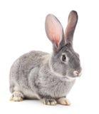 grey królik Zdjęcie Royalty Free