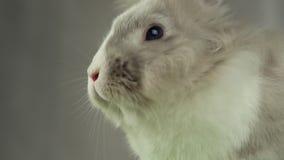 grey królik zbiory wideo