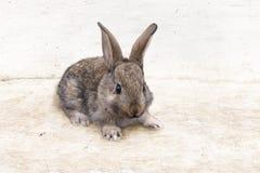 grey królik zdjęcie stock