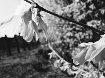 Grey laburnum Royalty Free Stock Images