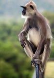 Grey Langur-aap Royalty-vrije Stock Afbeeldingen