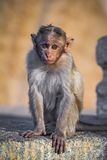 Grey langur, black faced baby monkey Stock Image