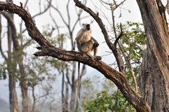 Grey Langur - On a Branch Royalty Free Stock Image